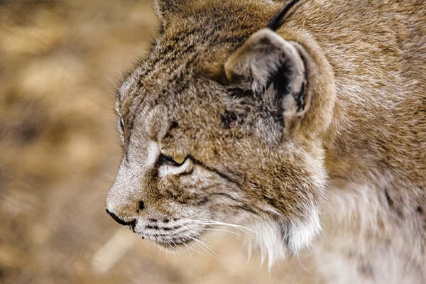 Wildlife conservation and cork: the endangered animals that live in cork oak forests.